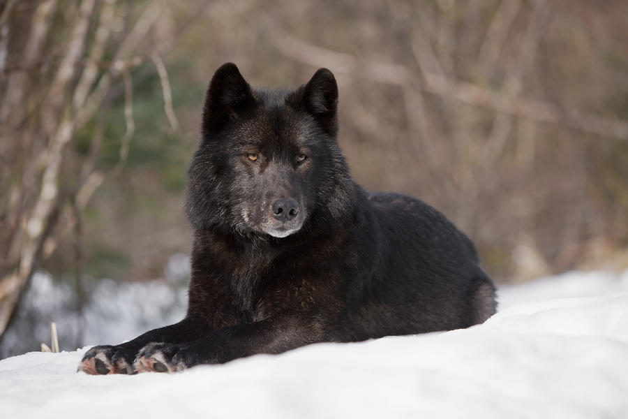 Black Wolf Photograph