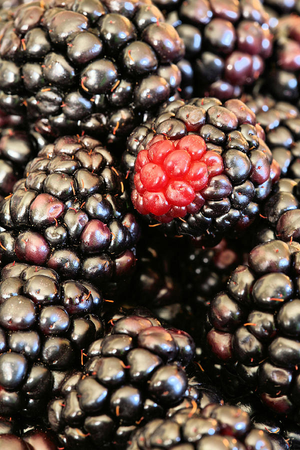 Blackberry Photograph - Blackberries  by JC Findley