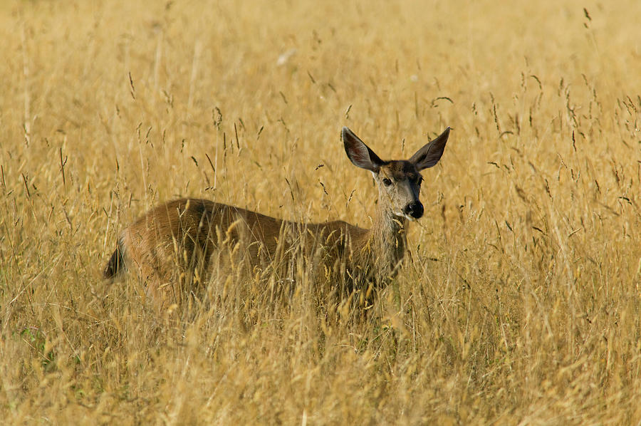 Blacktail Deer In Tall Grass Photograph