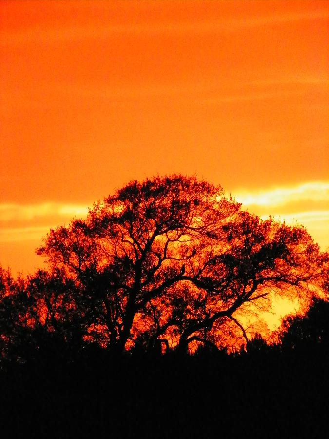 Blazing Oak Tree Photograph