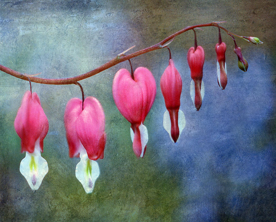 Bleeding Heart 2 Photograph  - Bleeding Heart 2 Fine Art Print