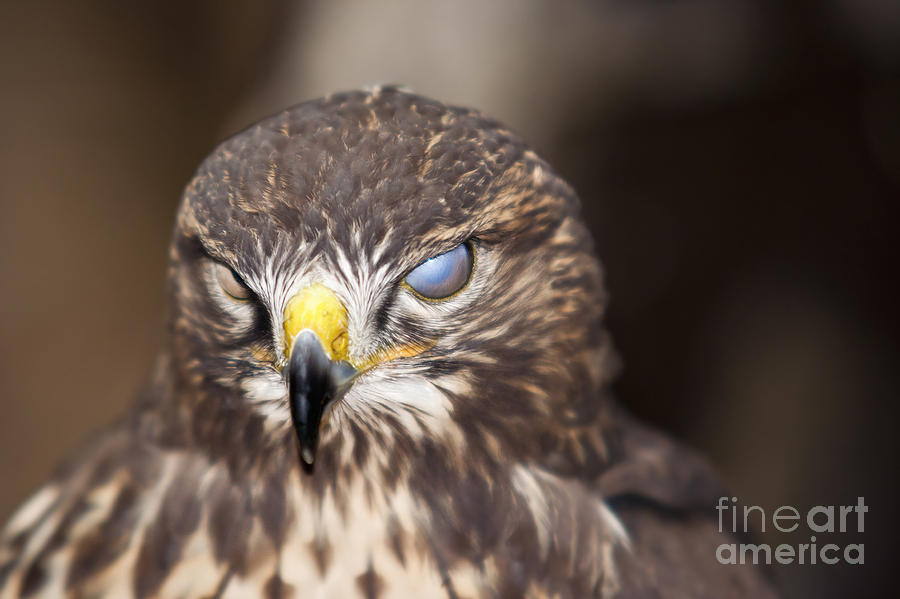 Blind Buzzard Photograph  - Blind Buzzard Fine Art Print