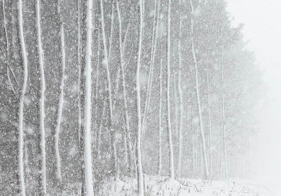 Blizzard Blankets Trees In Snow Photograph