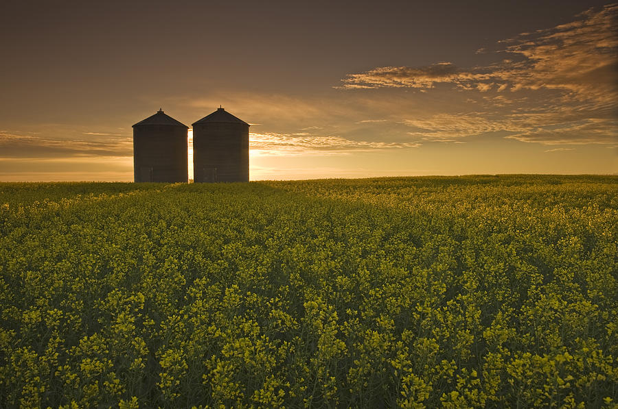 Bloom Stage Canola Field With Grain Photograph