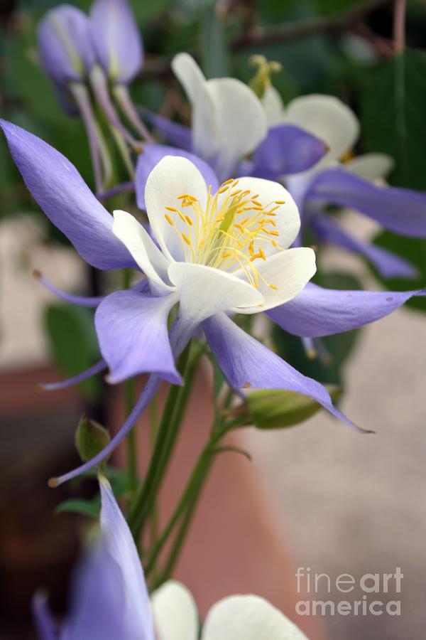 Blooming Columbine Photograph