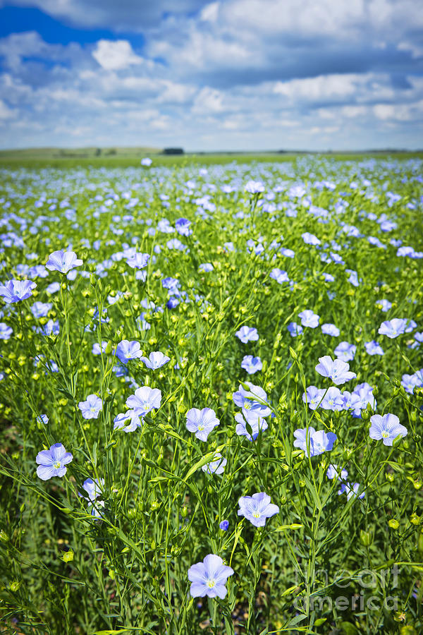 Blooming Flax Field Photograph