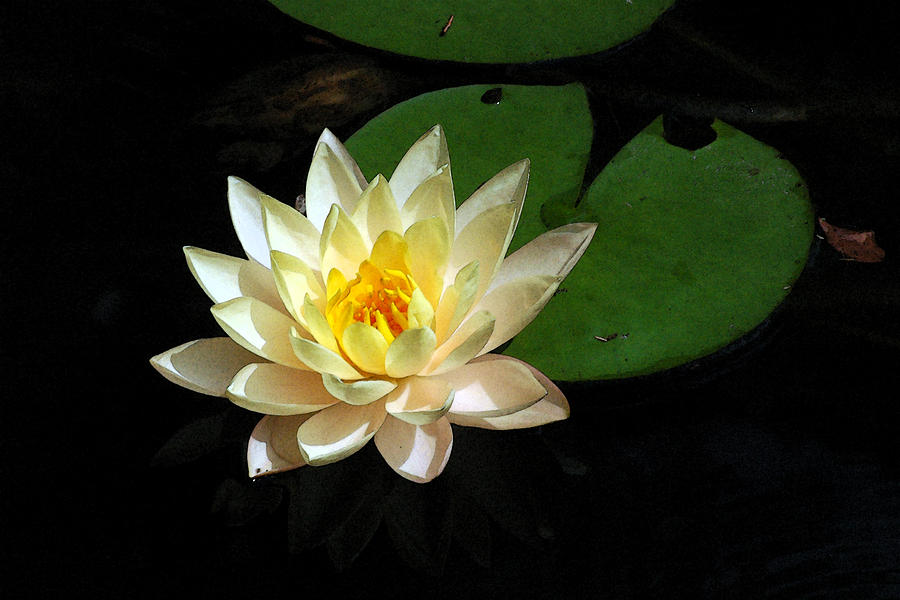 Blooming Lily Pad by Robert Anschutz