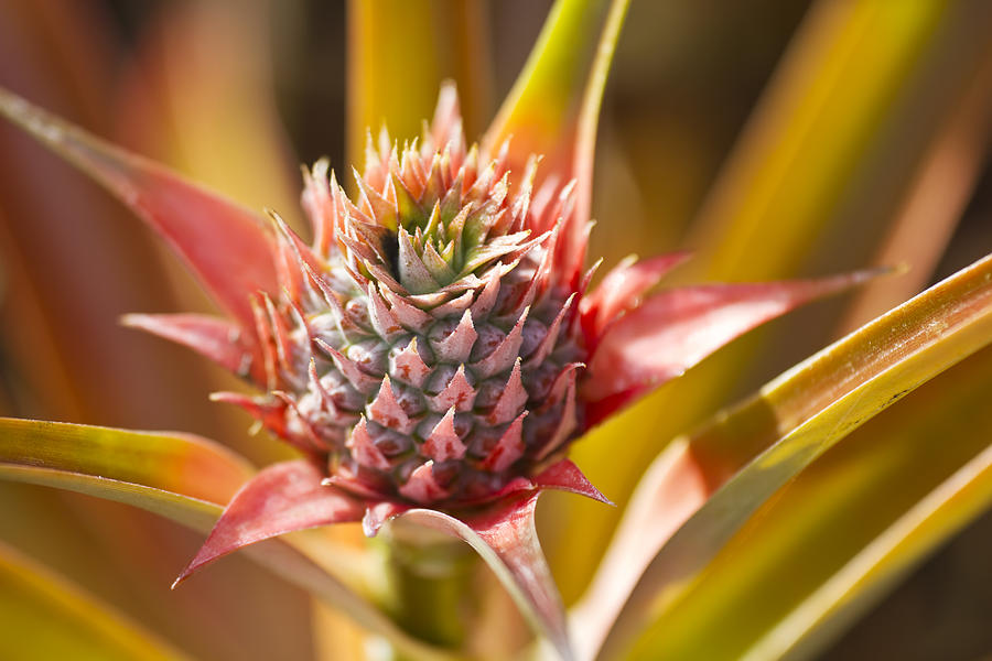 Agricultural Photograph - Blooming Pineapple II by Ron Dahlquist