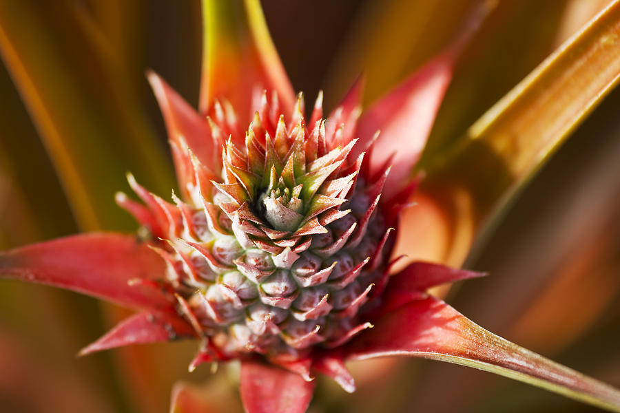 Blooming Pineapple Photograph