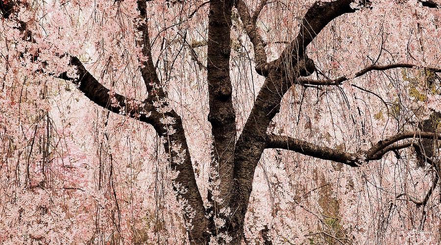 Blossom Rain Photograph