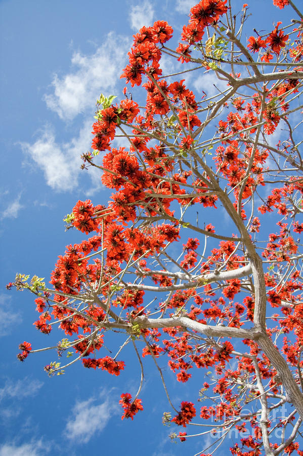 Blossoming Coral Tree Photograph  - Blossoming Coral Tree Fine Art Print
