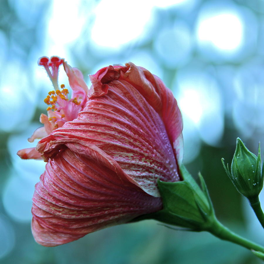 Blossoming Pink Hibiscus Flower Photograph