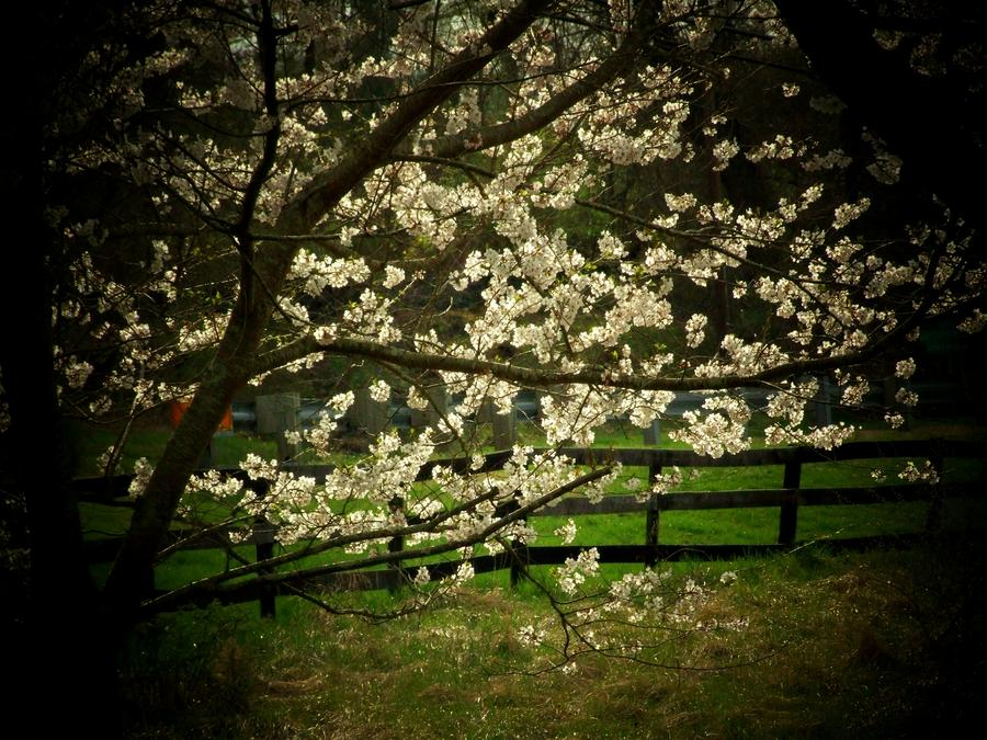 Blossoms Fence Photograph  - Blossoms Fence Fine Art Print