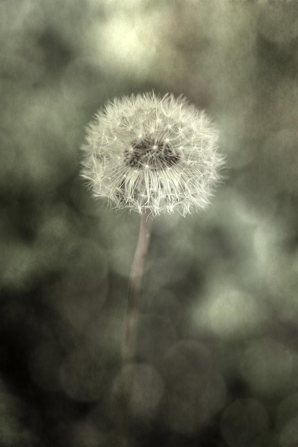 Blowball Photograph  - Blowball Fine Art Print