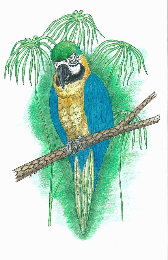 Blue Macaw Drawing Macaw Drawings - Blue and Gold