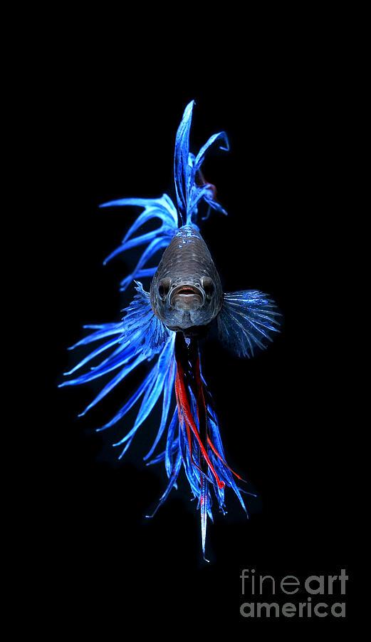 Betta Fish Art for Pinterest