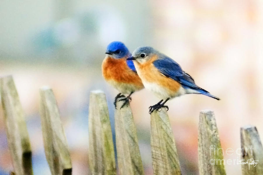 Blue Birds Photograph  - Blue Birds Fine Art Print