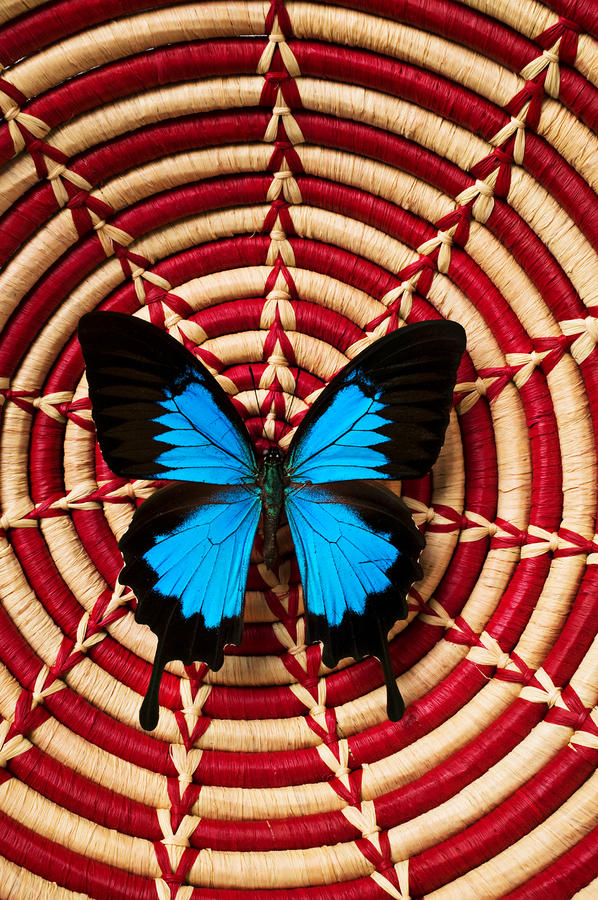 Blue Black Butterfly In Basket Photograph  - Blue Black Butterfly In Basket Fine Art Print