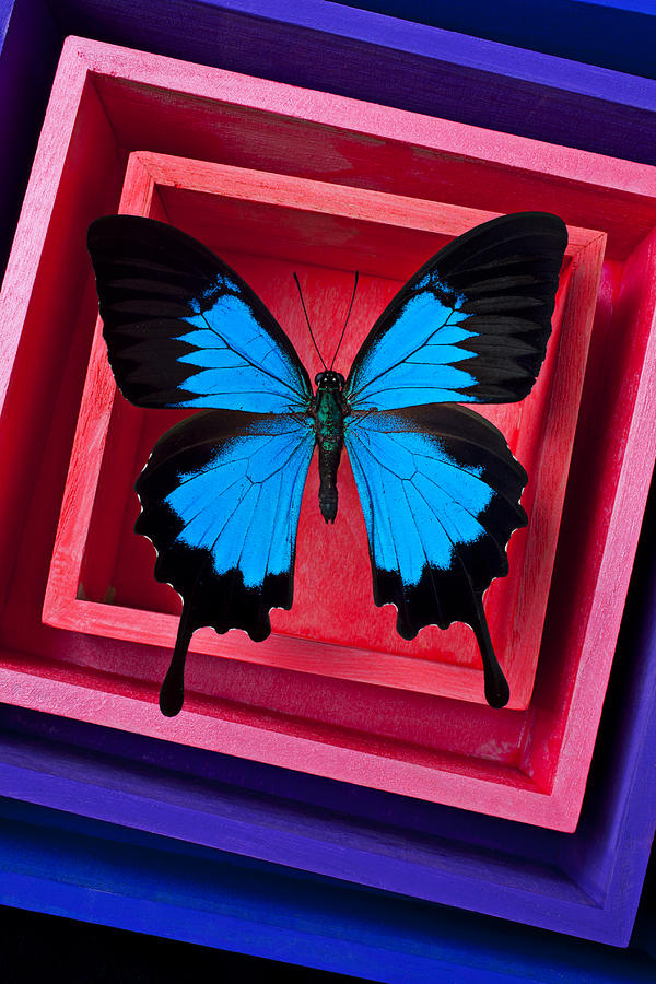 Blue Butterfly In Pink Box Photograph  - Blue Butterfly In Pink Box Fine Art Print