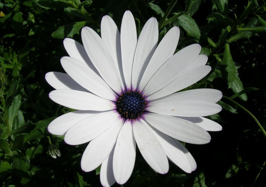 Blue Center Daisy Photograph