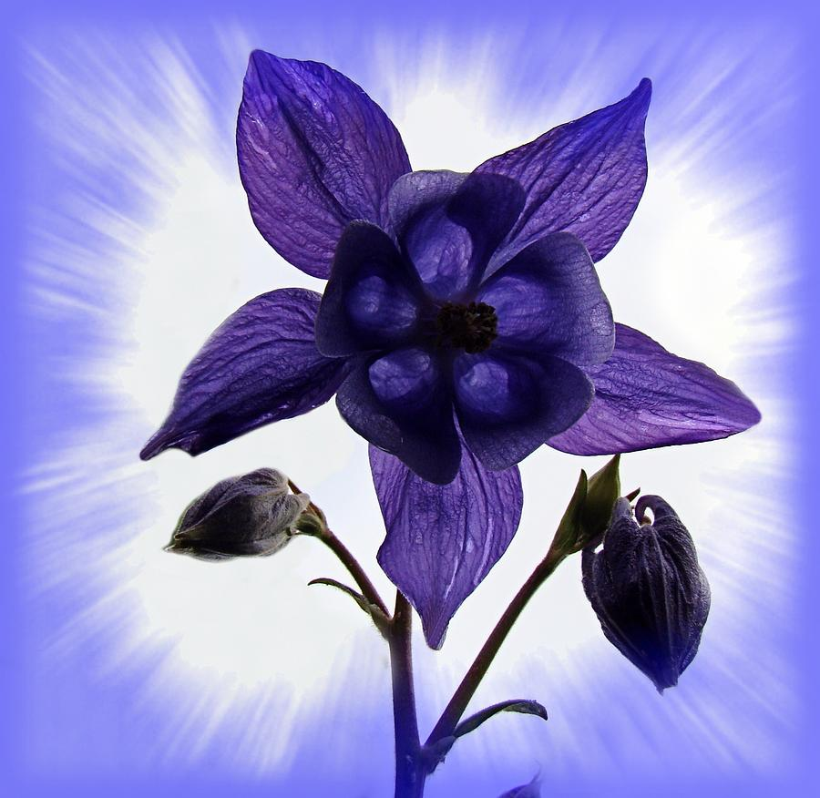 Blue Columbine Photograph