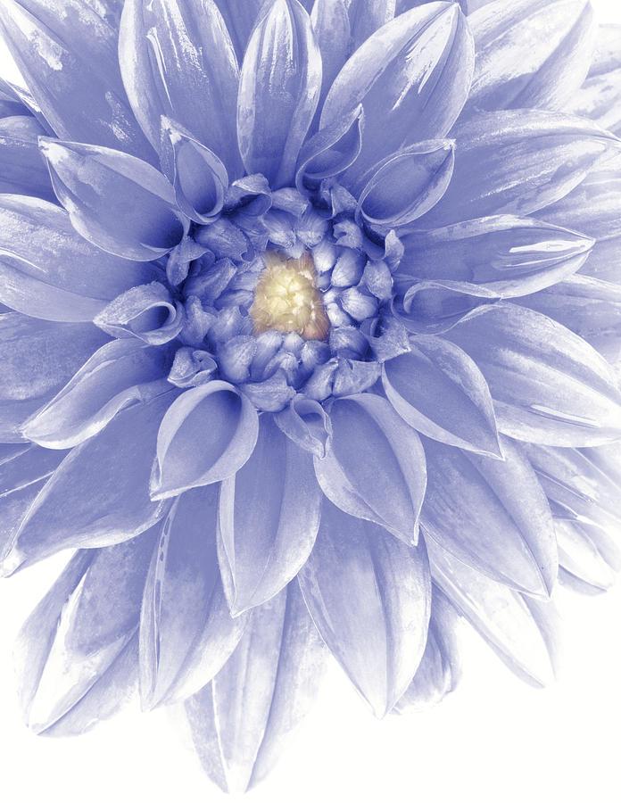 Blue Dahlia Photograph