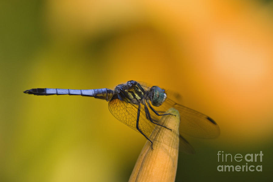 Blue Dasher - D007665 Photograph  - Blue Dasher - D007665 Fine Art Print