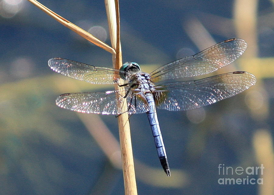 Blue Dragonfly Photograph  - Blue Dragonfly Fine Art Print