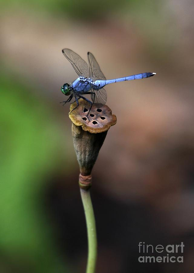 Blue Dragonfly Dancer Photograph