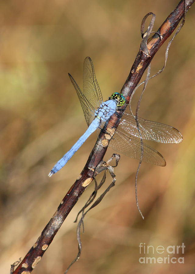 Blue Dragonfly Portrait Photograph  - Blue Dragonfly Portrait Fine Art Print