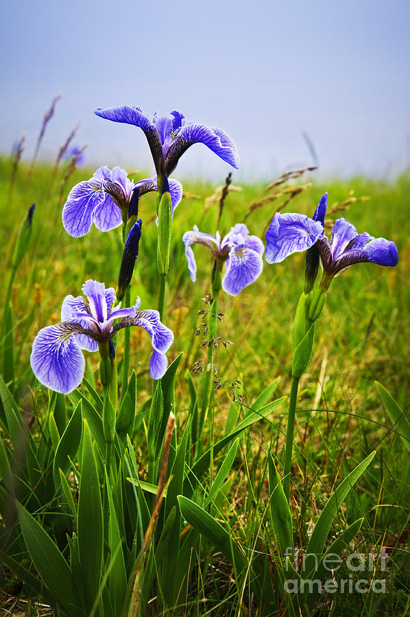 Blue Flag Iris Flowers Photograph