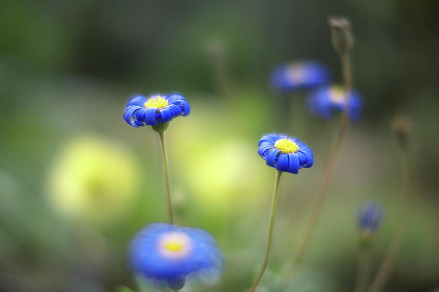 Horizontal Photograph - Blue Flowers by Myu-myu