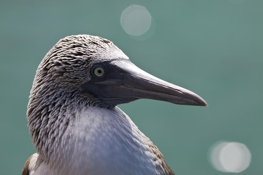 Blue Footed Booby II Photograph