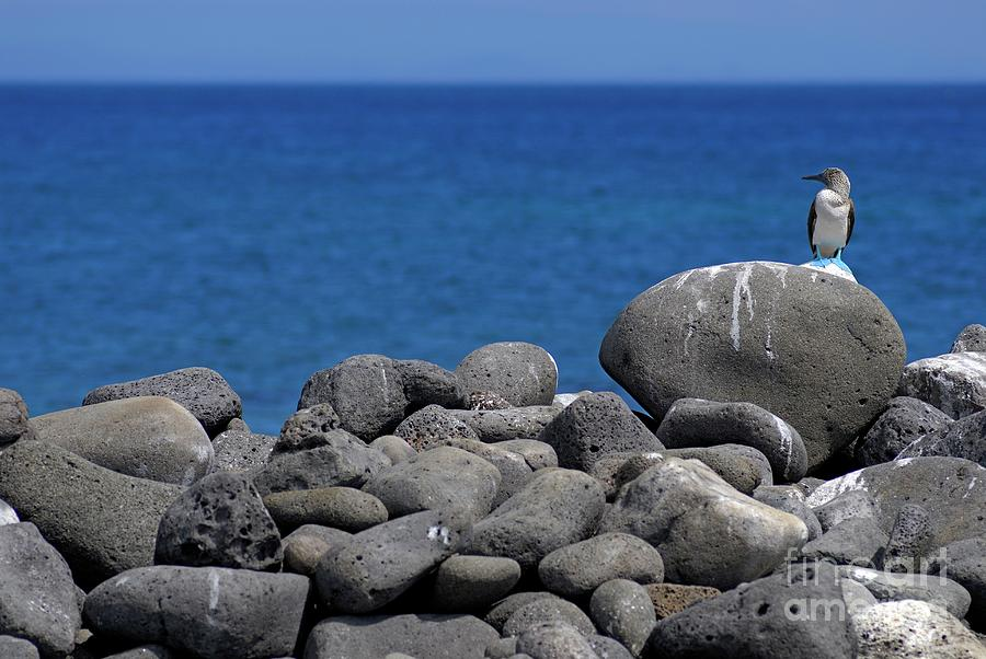 Blue-footed Booby On A Rock By Ocean Photograph