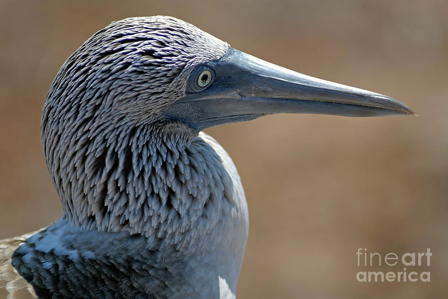 Blue-footed Booby Photograph  - Blue-footed Booby Fine Art Print