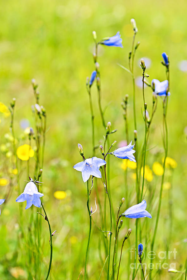 Blue Harebells Wildflowers Photograph  - Blue Harebells Wildflowers Fine Art Print