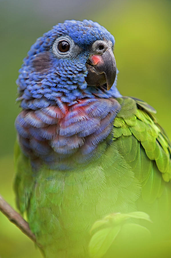Blue-headed Parrot Pionus Menstruus Photograph  - Blue-headed Parrot Pionus Menstruus Fine Art Print