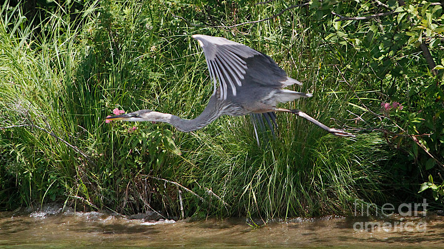 Blue Heron 2 Photograph  - Blue Heron 2 Fine Art Print