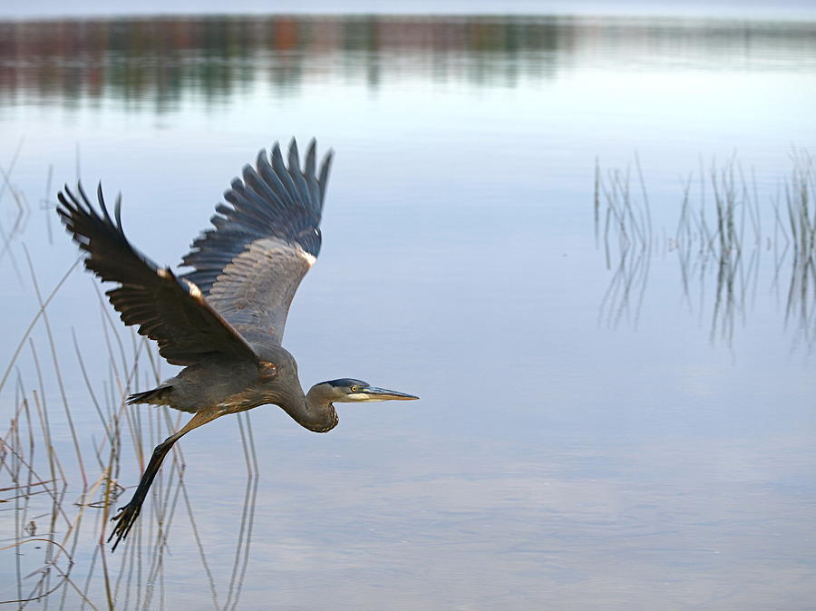 Blue Heron 3 Photograph  - Blue Heron 3 Fine Art Print