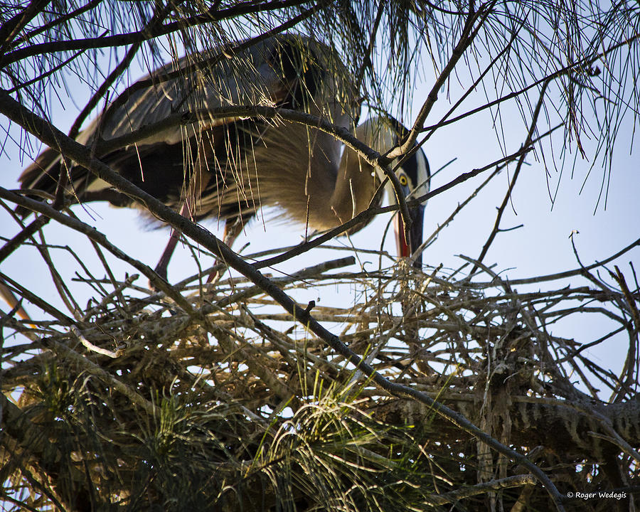 Blue Heron Building A Nest Photograph  - Blue Heron Building A Nest Fine Art Print