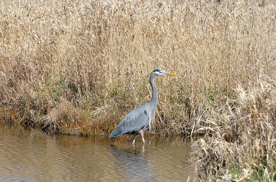 Blue Heron Fishing Photograph  - Blue Heron Fishing Fine Art Print