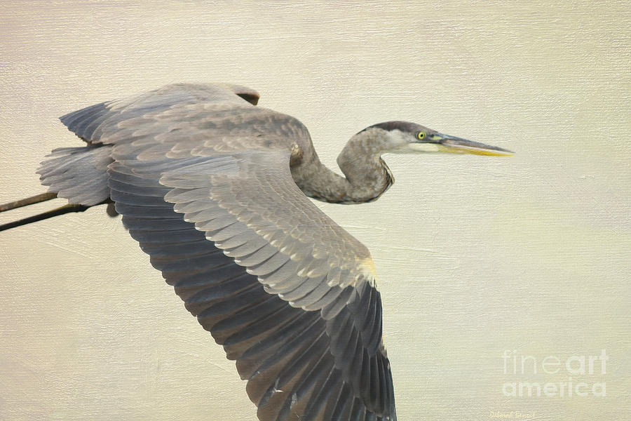Blue Heron Photograph - Blue Heron On Canvas by Deborah Benoit