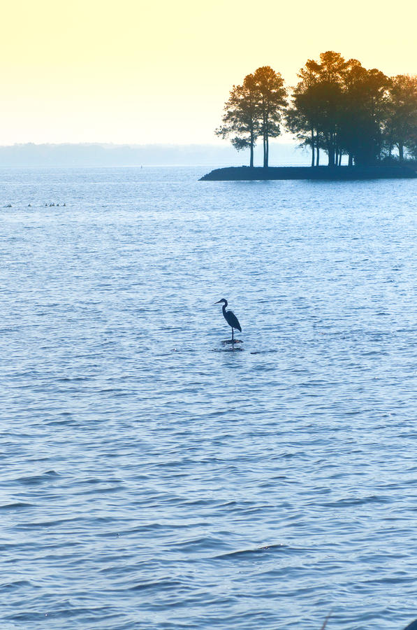 Blue Heron On The Chesapeake Photograph  - Blue Heron On The Chesapeake Fine Art Print