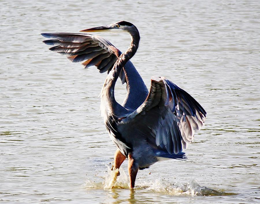 Great Blue Heron Photograph - Blue Heron by Paulette Thomas