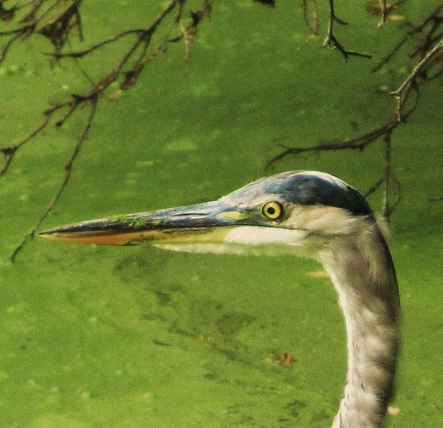 Blue Heron Photograph