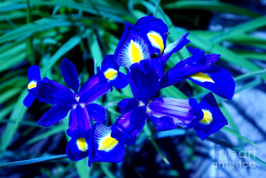 blue iris photograph by amas art. Black Bedroom Furniture Sets. Home Design Ideas
