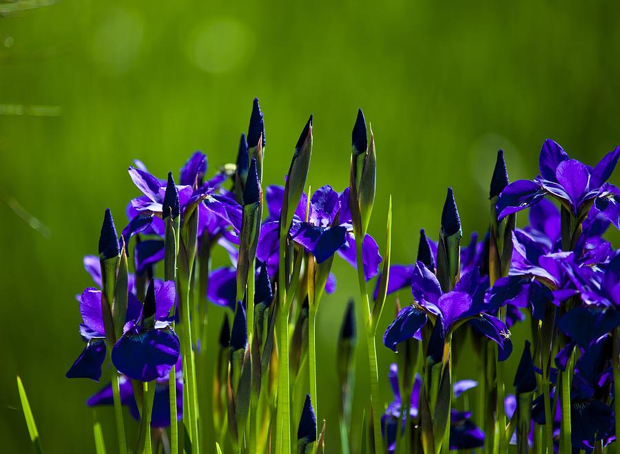 blue iris photograph by richard lee. Black Bedroom Furniture Sets. Home Design Ideas