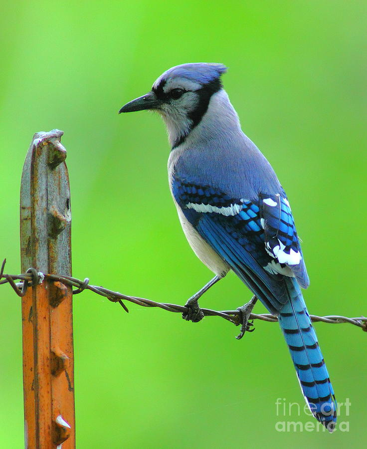Blue Jay On The Fence Photograph  - Blue Jay On The Fence Fine Art Print