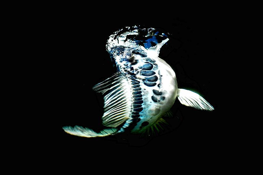 Koi Photograph - Blue Koi On The Rise by Don Mann