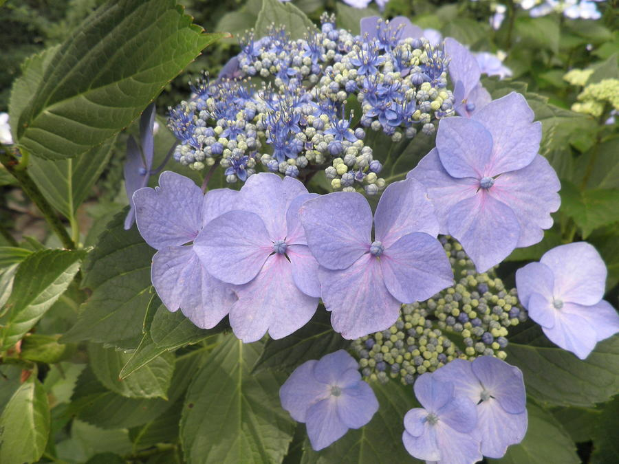 Blue Lacecap Hydrangea Photograph
